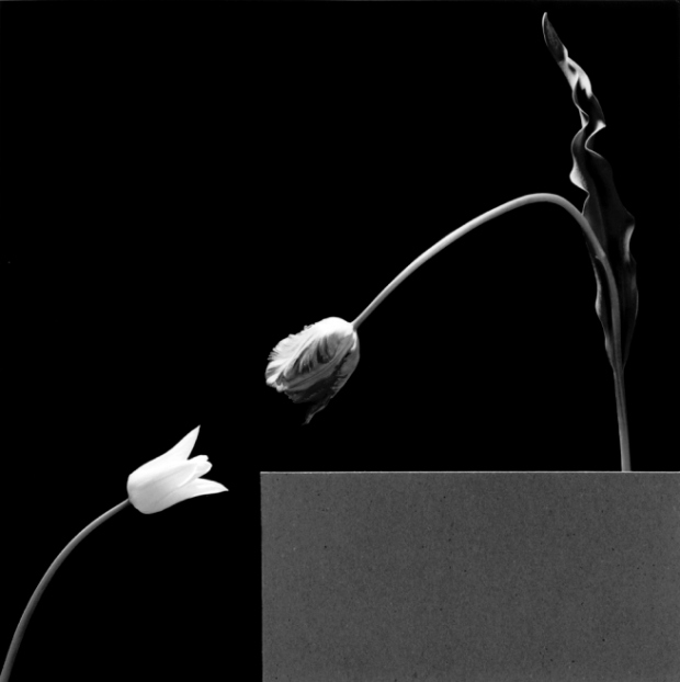 two_tulips_1984p-web